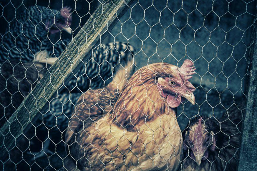 Mi suegra es una de las tantas que tiene gallinas acá en el barrio, porque comerse unos huevos revueltos con pancito amasado ¿a quien lo le gusta?, yo igual tuve la dicha de criarme comiendo huevitos de gallinas felices, mis abuelos viven en el campo y siempre nos mandan huevitos, de hecho, mi tía ahora hasta vende huevos en su trabajo, comer huevitos naturales de gallina hoy en día, es un privilegio.
